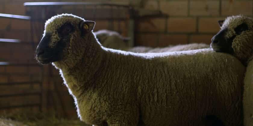 Schafsdiebstahl