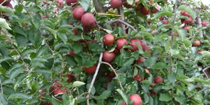 Äpfel zum Selberpflücken!
